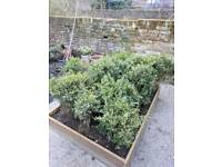 Box hedge, up to 25x 45-60cm tall, 40/50cm wide