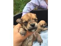 Chorkie pups 2 boys left