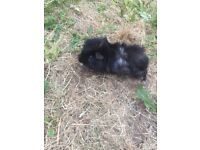 Male long haired Guinea pig