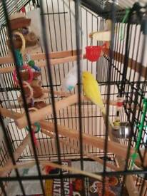 2 very tame budgies with cage