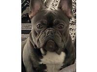Blue/ White French Bulldog