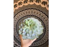 Succulent plant - Echeveria