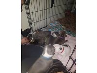 Staffy puppy girl for sell