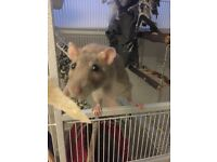 Pet rats looking for a new home due to owner moving house - cage and accessories included!