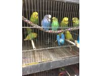 Beautiful young Budgies for sale