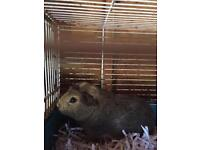 Male baby guinea pig for sale