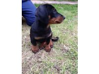 gorgeous male dachshund puppy for sale