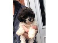 Toy shih-poo puppies toy poodle x shih-tzu READY NOW