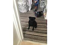 Pug for sale puppy