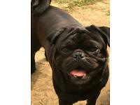 Male pug 21 months old.