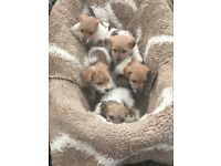 Yorkshire terrier cross jack Russell puppies for sale