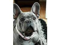 Quality french bulldog silver blue girl for sale
