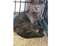 Blue grey kitten
