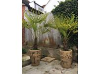 Pair large hardy park trees in large pots