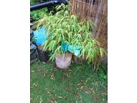Garden pot no 1 with bamboo