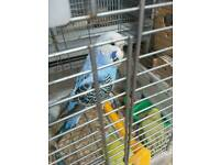 Baby budgies for sale.