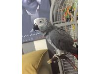 African Grey Parrot+New Grey Cage Specially Made+Birth Certificate