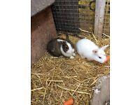 Dwarf Beautiful Baby rabbits
