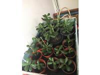 Money tree plants various sizes