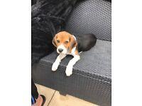 1 girl beagle