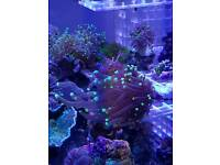 Purple torch coral for sale