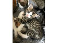 Kittens for sake - All Sold now