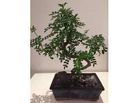Bonsai Tree Japanese Pepper