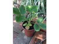 TEN strawberry plants