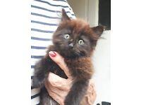 2 fluffy ginger/black/brown coated kittens.