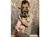 10 week old boy frenchbull dog