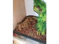 Royal python with 3ft viv and stand