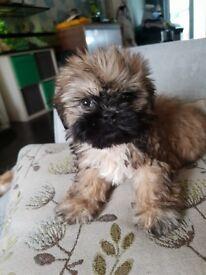Puppy shihzu