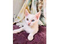 ❤️ White Mix Turkish Angora Kittens, ODD eyes❤️