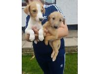Wippet greyhound x weaton greyhound puppies