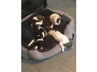 Beautiful staffs pups blue and white male and female left. Ready to go this week £300