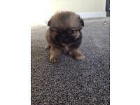 Chihuahuas puppy's