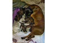 BMH Bavarian Mountain Hound Puppies For Sale