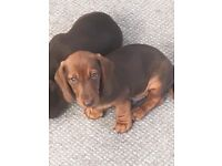 2 Mini Dachshund Boys. KC Registered. Injections wormed and fleed up to date. Micro chipped.