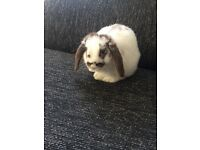 Female mini lop 5 months old