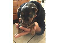 YORKSHIRE TERRIER PUP MALE FOR SALE