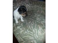 Lovely Jack Russell puppy for sale
