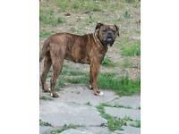 Female Olde tyme English bulldog