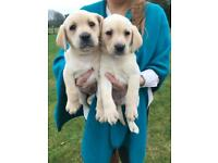 Labrador puppies yellow kc registered