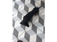 Kc reg pea clear dachshund boy