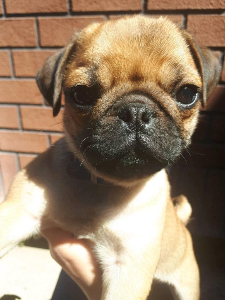 11 Week Male Apricot Pug Puppy In Carlton Nottinghamshire Gumtree