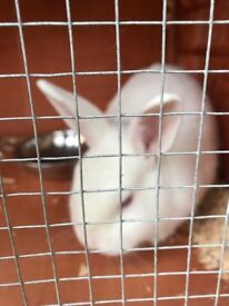 White rabbit £40 with double floored cage