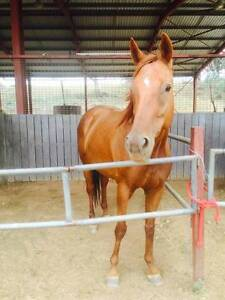 QUIET THOROUGHBRED MARE Tamworth Tamworth City Preview