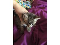 Tabby kittens for sale (sold pending collection)