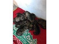 German Shepard pups for sale