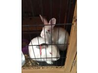 2 white rabbits